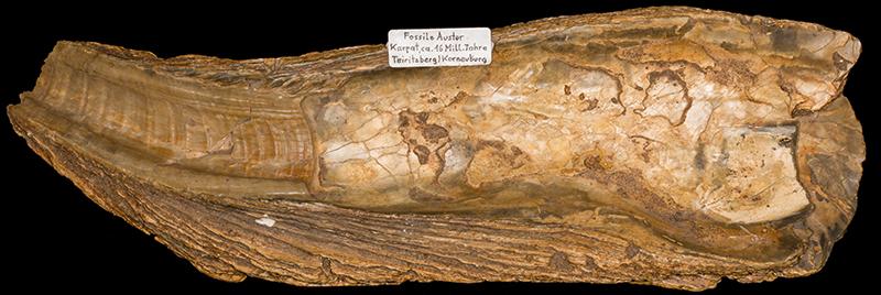 rund 16 Milionen Jahre alte fossile Auster